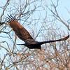 Turkey Vulture In Flight As It Left