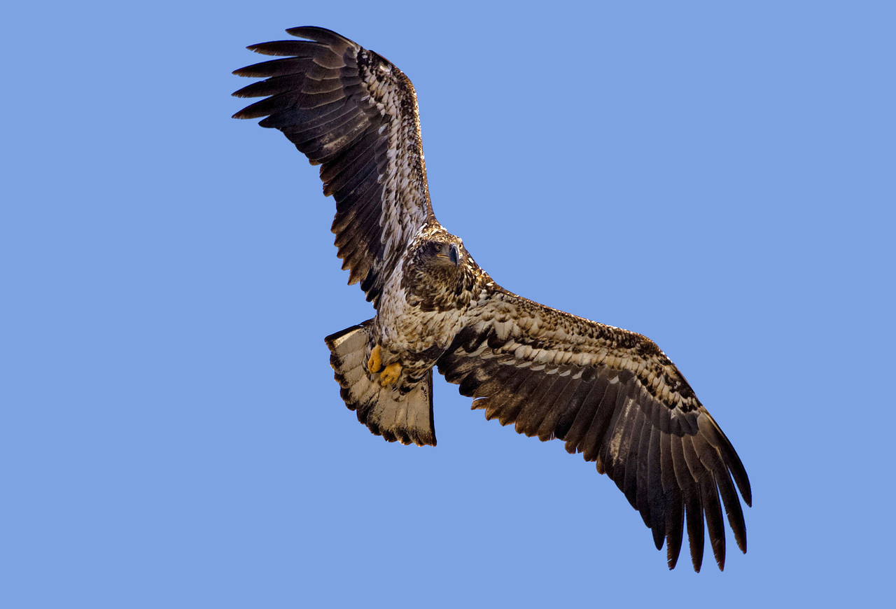 Immature Bald Eagle