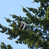Osprey, Lake Oswego