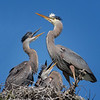 Great Blue Heron with it's fledglings