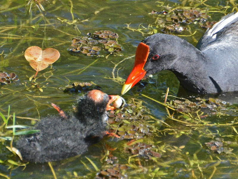 Common Moorhen feeds a young Common Moorhen a seed.
