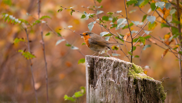 Robin on feeding post  in Bowdown Woods