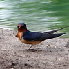 Barn Swallow At Cottonwood Park View 1