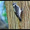 Female Downy Woodpecker—Picoides pubescens