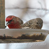 Now Both Finches Are Enjoying The Finch Feeder