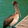 Pelican Watch