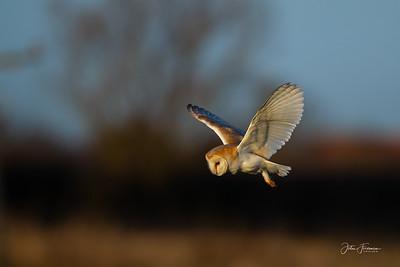 Barn Owl, Burwell fen