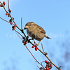 Passer domesticus – House sparrow 14
