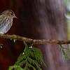 Pine Siskin (male) ~ Carduelis pinus