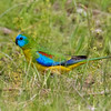 Turquoise Parrot_male,7821