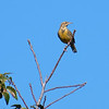 Meadowlark In The Tree Top