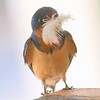Mama Barn Swallow With A Feather For Her Nest