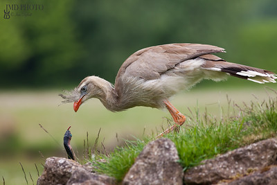 Amazing animal image. Red-legged seriema bird and snake face-off.