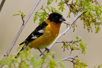Black-headed Grosbeak.