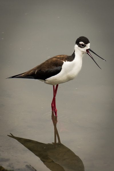 Shouting Stilt