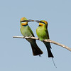 Rainbow Bee-eaters, The Spit, Qld.<br /> Female Feeding The Male.