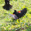 Red-winged Blackbird Death Match 6