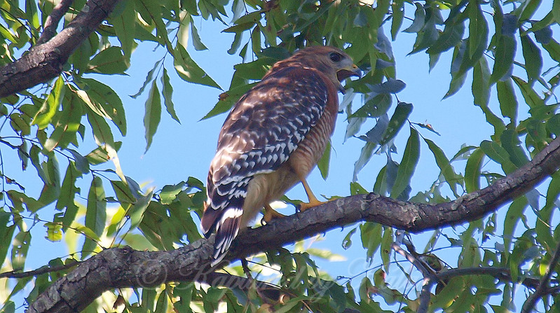Noisy Hawk