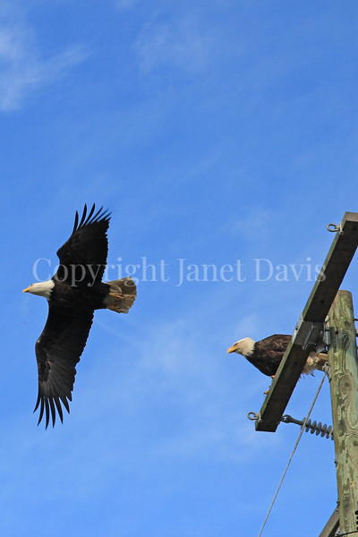Haliaeetus leucocephalus – Bald eagles on power pole 3