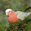 Galah with Dead Finish seed pod