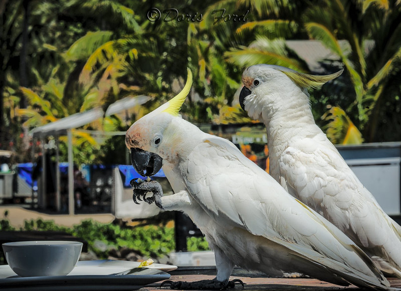 Cockatoos  cleaning up the picnic table--Hamilton Island, Australia