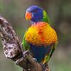 Rainbow Lorikeet, immature_119