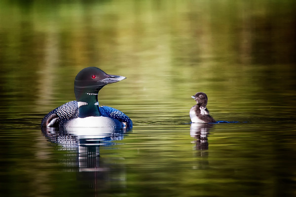Common Loon with Chick