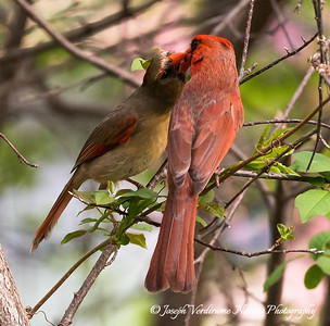Male Cardinal feeding female (4)