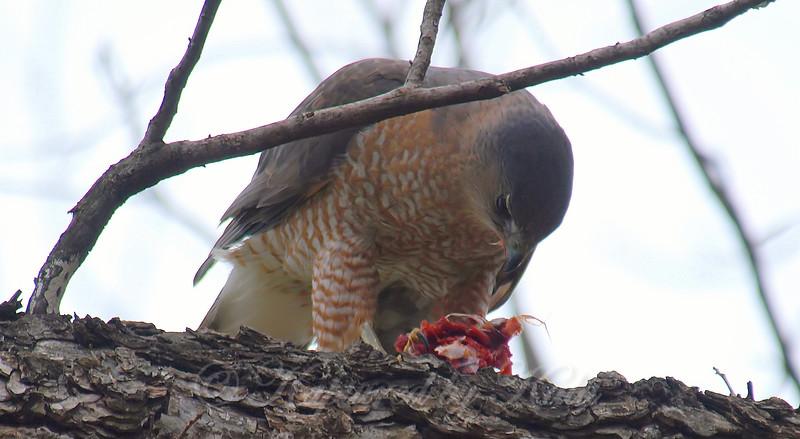 Mama Cooper's Hawk Enjoying Her Gift View 10