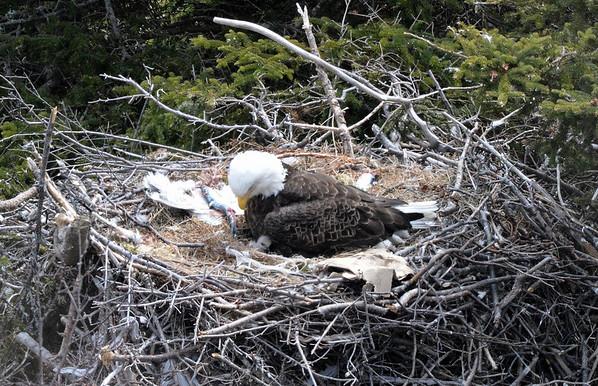 Bald Eagle with newborn chick