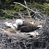 Bald Eagle with newborn chick