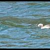 Horned Grebe Fishing