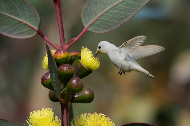 Rare Leucistic White Humminbird