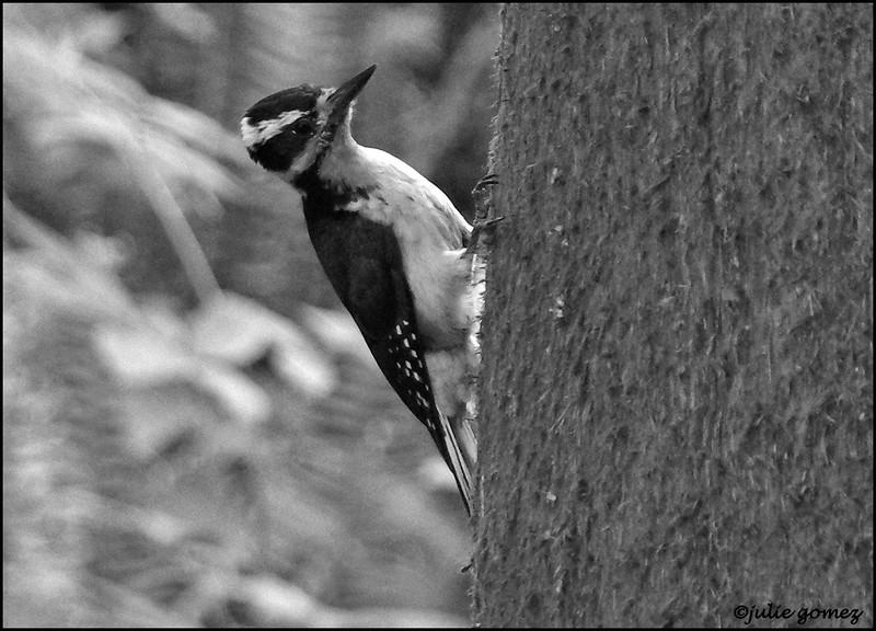 Female Hairy Woodpecker ~ Picoides villosus