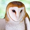 Barn Owl, Wakulla Springs State Park, FL