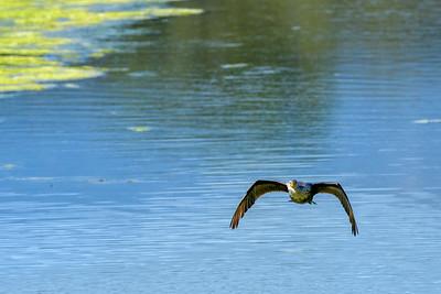 Double-Crested Cormorant in Flight 3