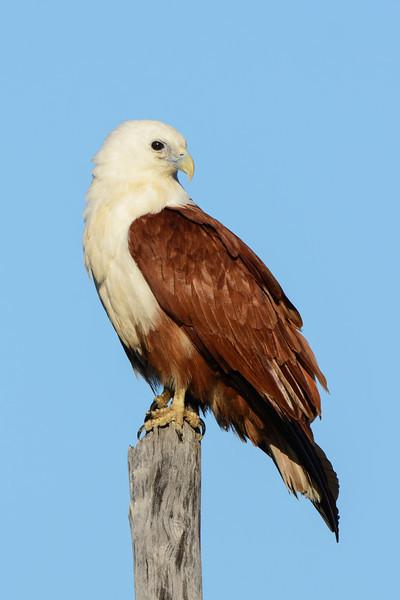 Brahminy Kite, The Spit Birds,