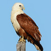 Brahminy Kite, The Spit Birds,