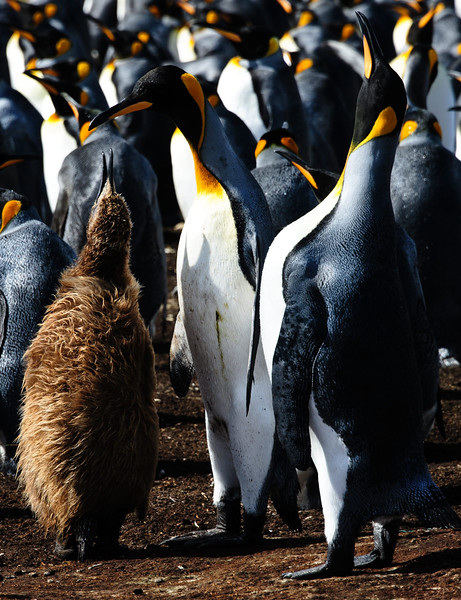 King penguins and one youngster that hasn't yet moulted   Falklands