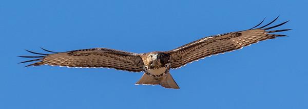 Red-Tailed Hawk, Bosque del Apache WLR, NM