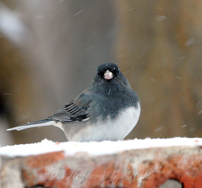 Juncos and Snow, a Nice Combination