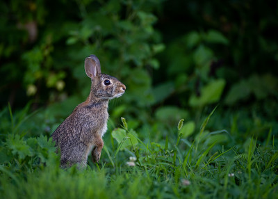 Cottontail Rabbit in My Backyard