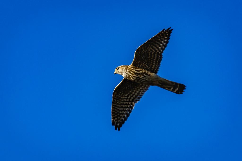Merlin, Falco columbarius