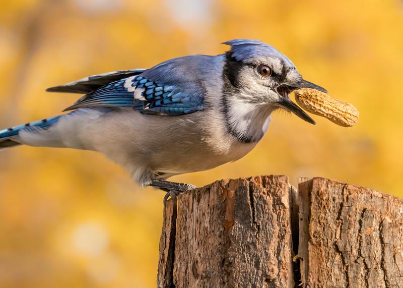 Blue Jay grabbing a peanut