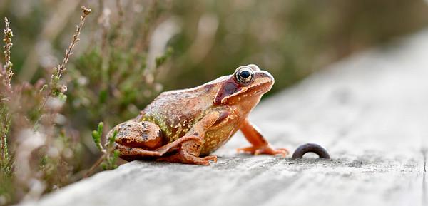 European grass frog (Rana temopraria)