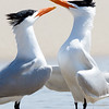 Male Royal Terns Display for Dominance, Bald Point State Park, FL