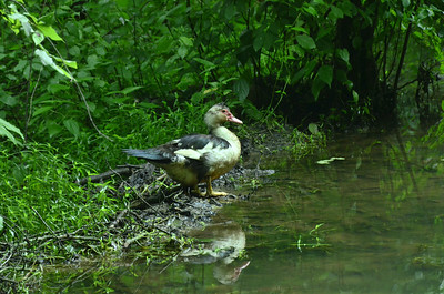 Anatidae -  Cairina moschata - Muscovy duck