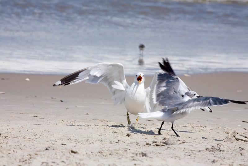 Laughing Gull (larus atricilla).  Nags Head, NC.