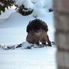 Hawk In The Snow