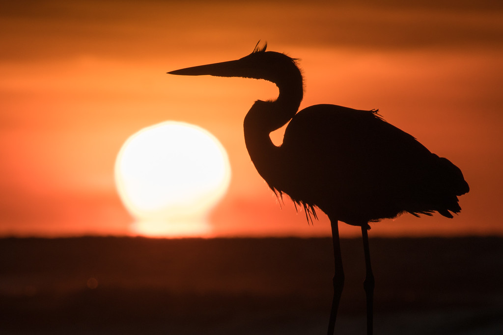 IMAGE: https://photos.smugmug.com/Birds/i-nmzPBhM/0/XL/Orange%20Beach%2010092016-281-XL.jpg